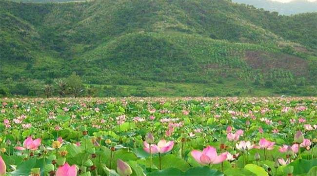 Địa điểm du lịch làng sen Đồng Tháp – Khu du lịch sinh thái hấp dẫn