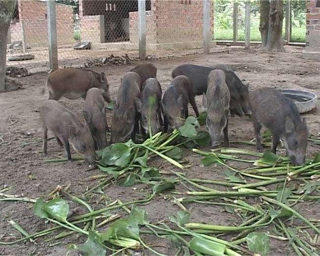 Mô hình nuôi lợn rừng, cách kinh doanh hiệu quả