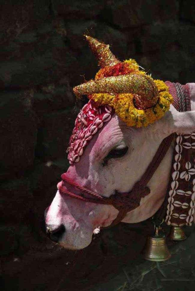 Trong văn hóa Ấn Độ, bò được xem như một con vật Thánh